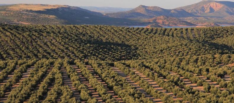 La Junta prevé poco más de 600.000 toneladas de aceite de oliva en Andalucía