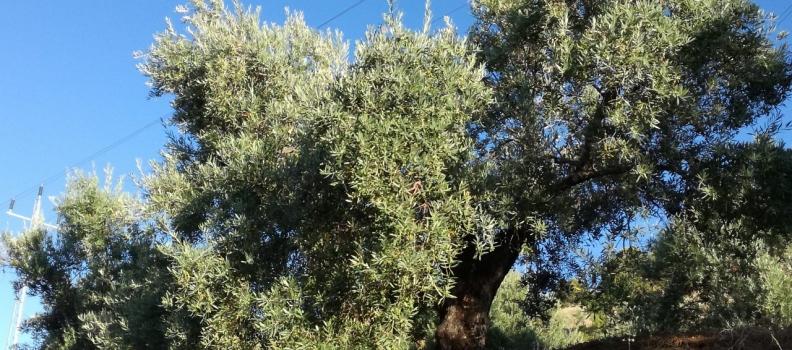 Cooperativas confía que siga la tendencia de salidas de aceite de oliva de más de 100.000 toneladas al mes