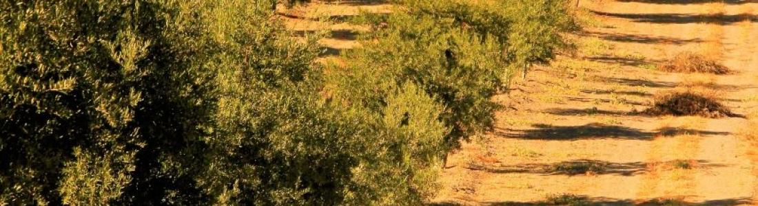 El precio del aceite de oliva en el mercado de origen sigue estable y con diferenciales mínimos entre calidades