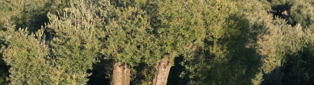 Tiempo de rebusca, de poda y de abonado del olivar