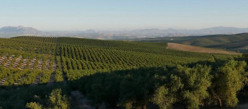 Tailandia, nuevo reto de conquista para el cultivo del olivar