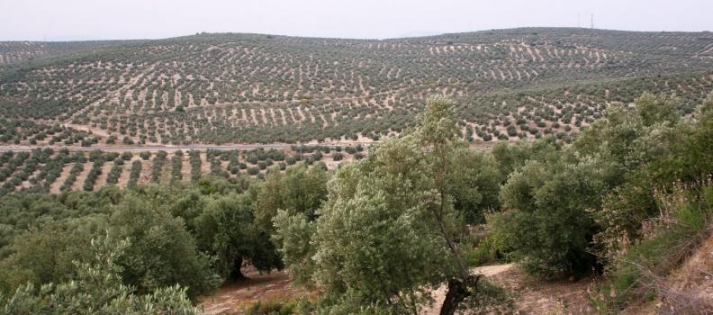 El periodo de rebusca de la aceituna en la provincia Jaén comienza mañana