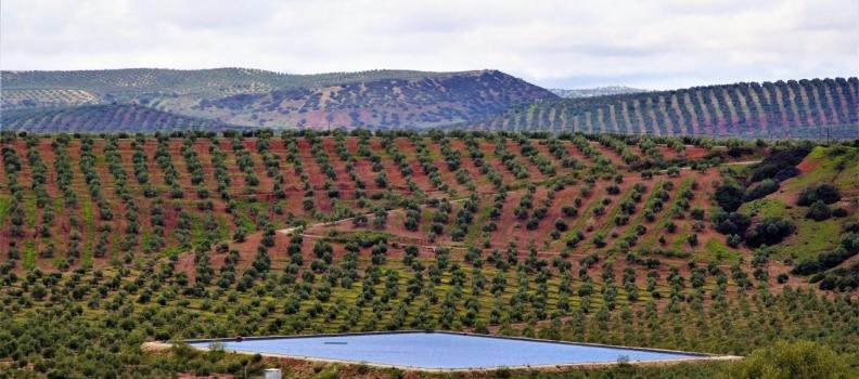 COAG exige al Gobierno una defensa más contundente del sector del olivar acorde a su peso económico y social