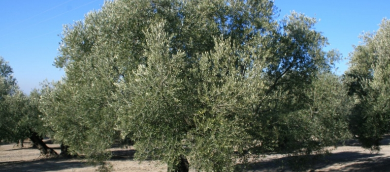 Tejerija dice que la reforma de la PAC favorece a Andalucía y al olivar