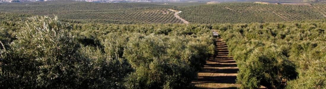 Grupo de trabajo con técnicos italianos sobre el estudio de los controles en el sector oleícola