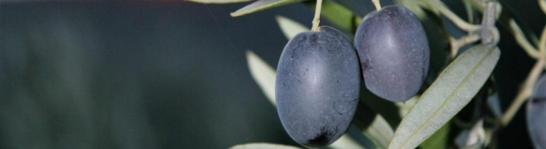 Un total de 1.062.000 toneladas de aceite de oliva se han producido en España hasta finales de enero