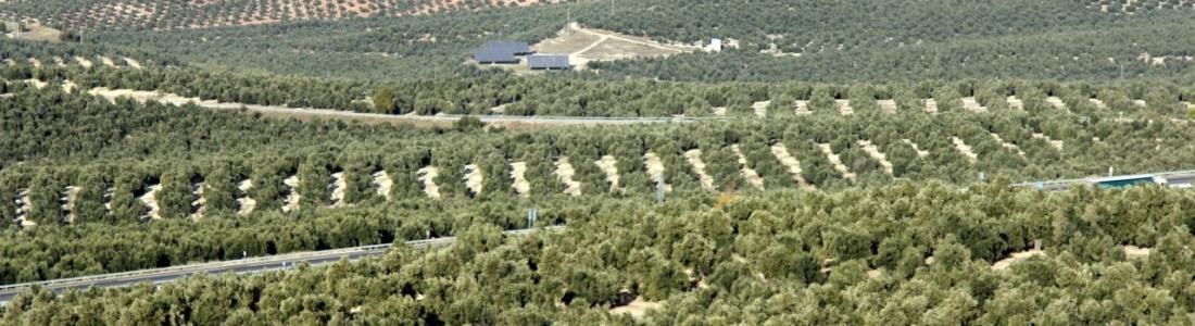 COAG-Jaén muestra su decepción porque no se haya bajado el módulo fiscal del olivar