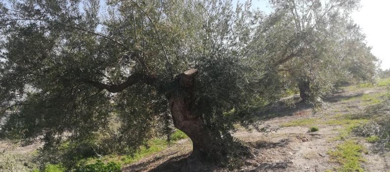Un informe del consultor Juan Vilar afirma que el 20% del olivar español está en riesgo de abandono