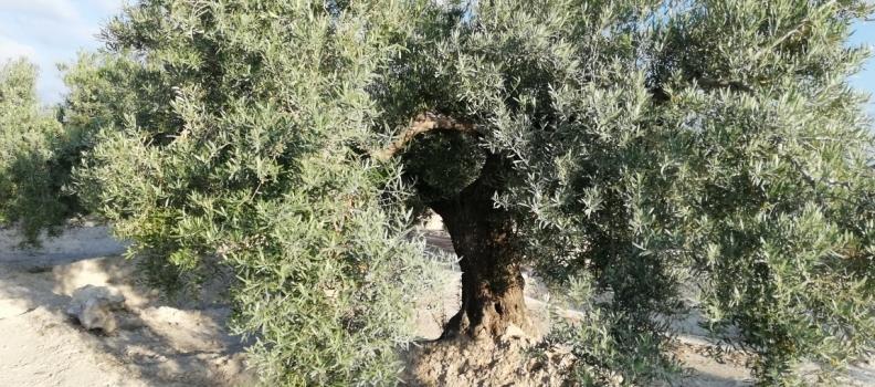 ASAJA-Jaén considera muy bueno el dato de salidas de aceite de oliva al mercado en mayo, con 132.000 toneladas