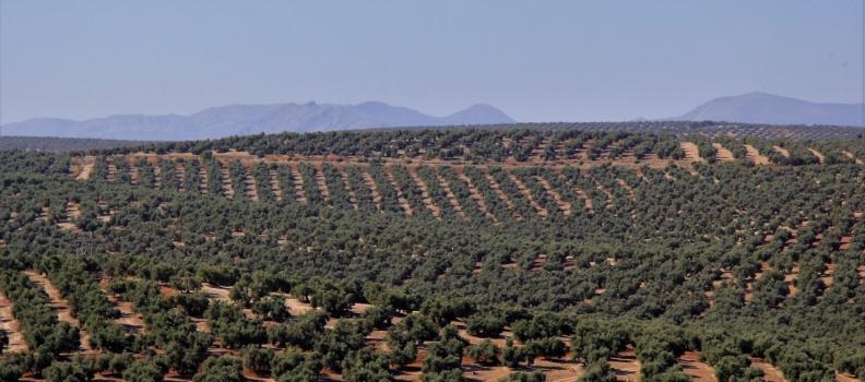 La segunda licitación de almacenamiento privado tampoco mejora  la tendencia al alza de los precios del aceite de oliva en el mercado de origen