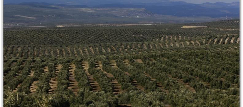 La Junta ajusta a la baja el aforo inicial de aceite de oliva como consecuencia de la falta de lluvias y las altas temperaturas del otoño