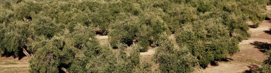 El olivo supone el 25 por ciento del cultivo permanente en el mundo