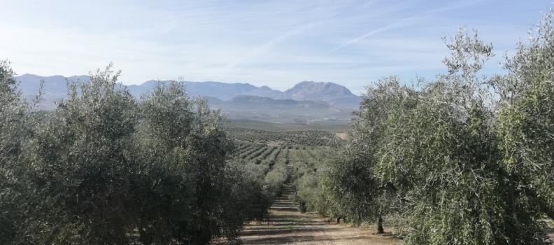 La Junta hará público el próximo lunes la estimación de cosecha de aceituna y de aceite de oliva (aforo)