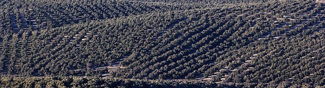 El CES retomará tras el verano su petición ante la RAE para modificar las definiciones de los aceite de oliva