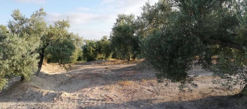 Nace Asolite, la Asociación del Olivar Tradicional Español