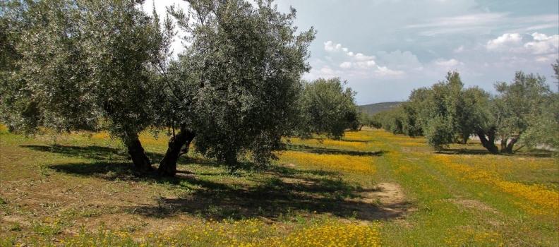 'Olivares Vivos' recuerda la importancia de la cubierta herbácea para conservar el suelo del olivar