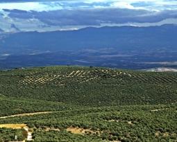 Baeza vuelve a ser la primera potencia olivarera y recobra su posición como municipio más productor de aceites de oliva de Jaén en esta campaña, seguido por Villacarrillo y Úbeda