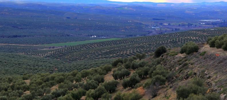 La Comisión Europea concede a la Universidad de Jaén una acción de investigación «Marie Curie» sobre el tratamiento contra la Xylella fastidiosa