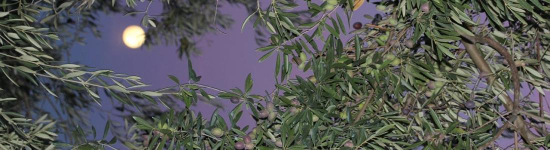 La DOP Sierra de Cazorla produce esta campaña unas 34.000 toneladas de aceite de oliva