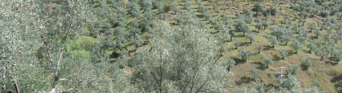 La Junta abona 10,6 millones de euros en ayudas agroambientales a los sistemas sostenibles de olivar