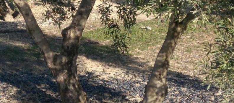 El mercado de aceite de oliva en Egipto se encuentra en expansión