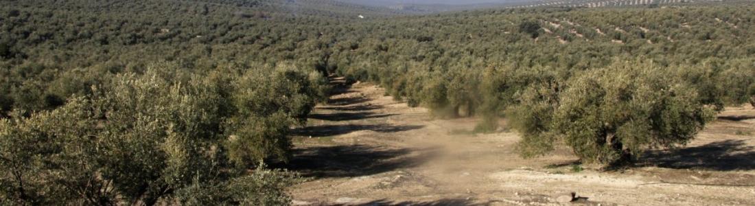 Preocupación en ASAJA-Jaén, UPA-Jaén y COAG-Jaén por la detección de un olivo afectado por la bacteria xylella fastidiosa en Madrid