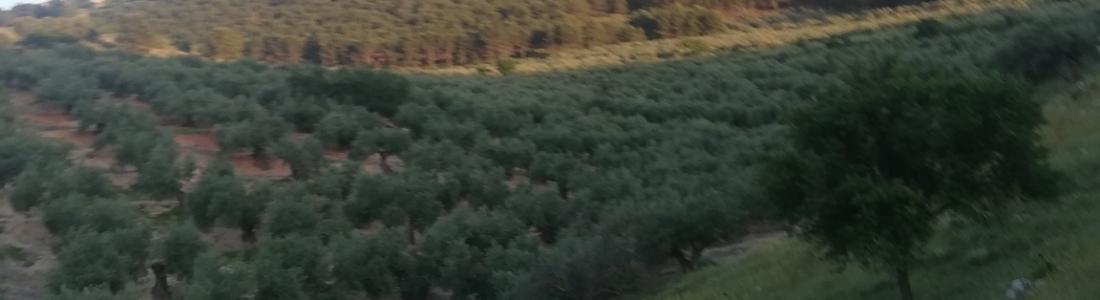 Aceite de Jaén, la primera IGP de aceite de oliva virgen extra reconocida en España por la UE