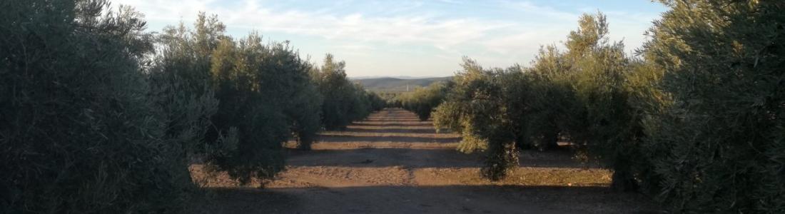 La COAG destaca que la relación calidad/precio del aceite de oliva es equilibrada y sostenible