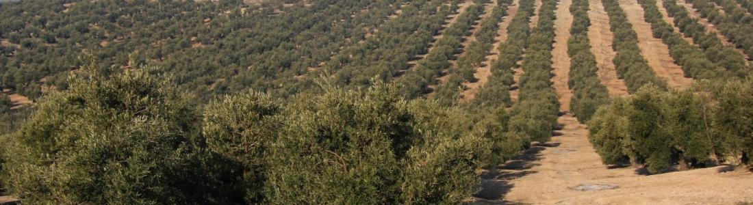 La comercialización de aceite de oliva supera las 400.000 toneladas en los cuatro primeros meses de la campaña