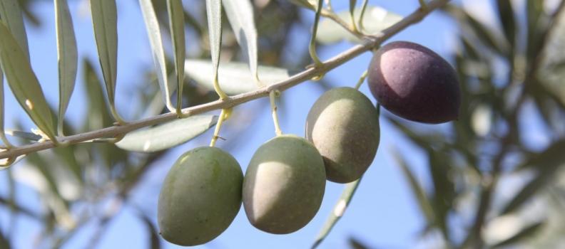 El sector productor de aceite de oliva llama a paralizar la provincia de Jaén y a concentrarse mañana dos horas en las plazas de los pueblos por la crisis de bajos precios