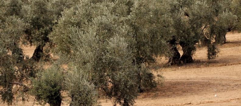 Agricultura dispone de una APP para controlar y vigilar los vectores que pueden transmitir la xylella fastidiosa
