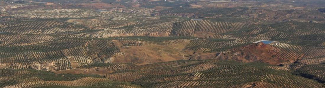 El paisaje del olivar aspira a la declaración de Patrimonio de la Humanidad