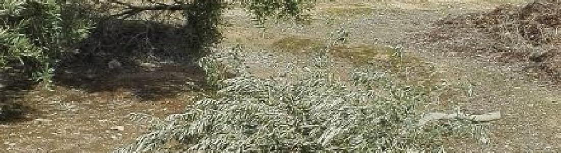 Editada la séptima edición del libro «La poda del olivo»
