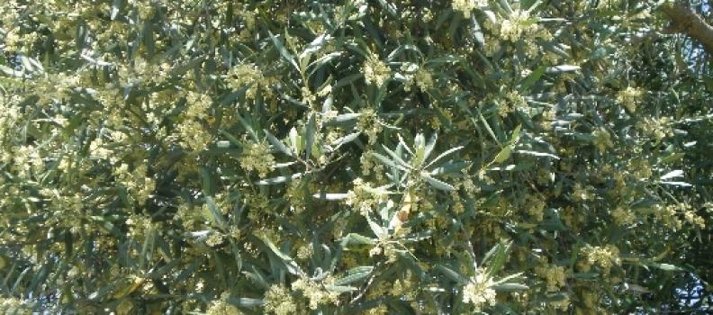 El pico de registro de polen de olivo en Jaén tuvo lugar el 16 de mayo con 5.470 granos por metro cúbico