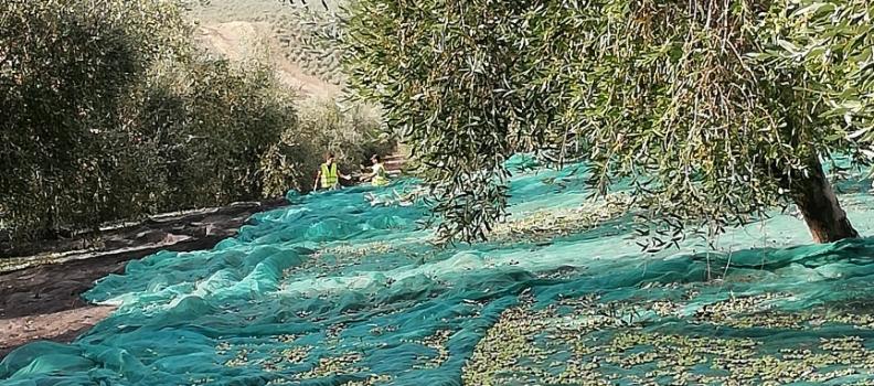 Juan Vilar augura 1,6 millones de toneladas de aceite de oliva en España y prevé precios al inicio en la órbita de los tres euros el kilo para el virgen extra