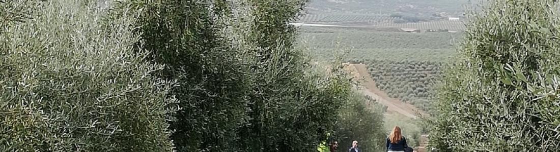 La recolección de la aceituna supera el 40% en Jaén con rendimientos inicialmente bajos