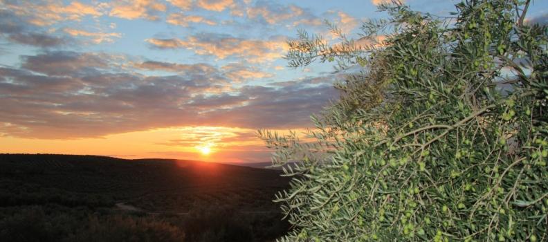 COAG Andalucía hace balance del año y destaca la tensión en el mercado por la baja producción de aceite de oliva