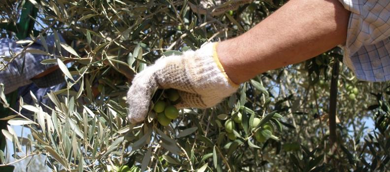 La producción de aceituna de mesa supera en un 4%  la previsión del aforo y alcanza las 441.830 toneladas en Andalucía