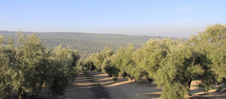 ASAJA-Jaén destaca la salida de más de 150.000 toneladas de aceite al mercado durante el mes de marzo
