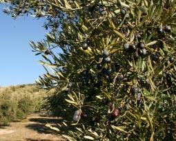 COAG Jaén alerta de una pérdida importante de aceite por la falta de precipitaciones en el inicio oficial de la campaña