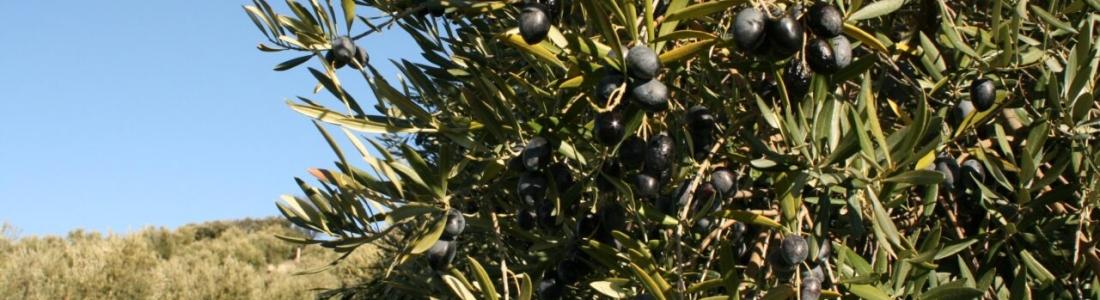 COAG Jaén alerta que los bajos rendimientos de la aceituna está ocasionando la paralización de la recogida de la aceituna en algunos tajos