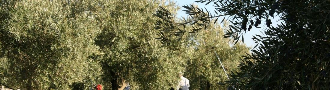 La recolección de la aceituna enfila su recta con buena calidad y con bajos rendimientos