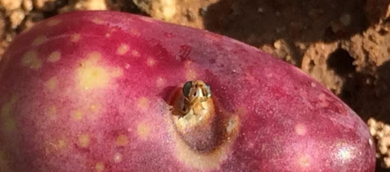 La aplicación de nuevas tecnologías al campo permite saber cuándo actuar contra la mosca del olivo con semanas de antelación