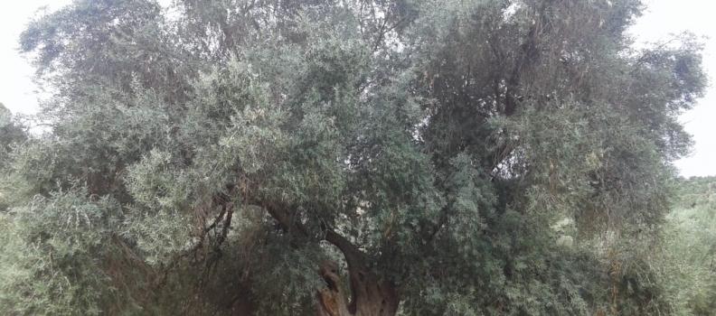 UPA Andalucía destaca la buena salud de la comercialización de aceite de oliva, con un aumento del 7,2% con respecto a la campaña anterior