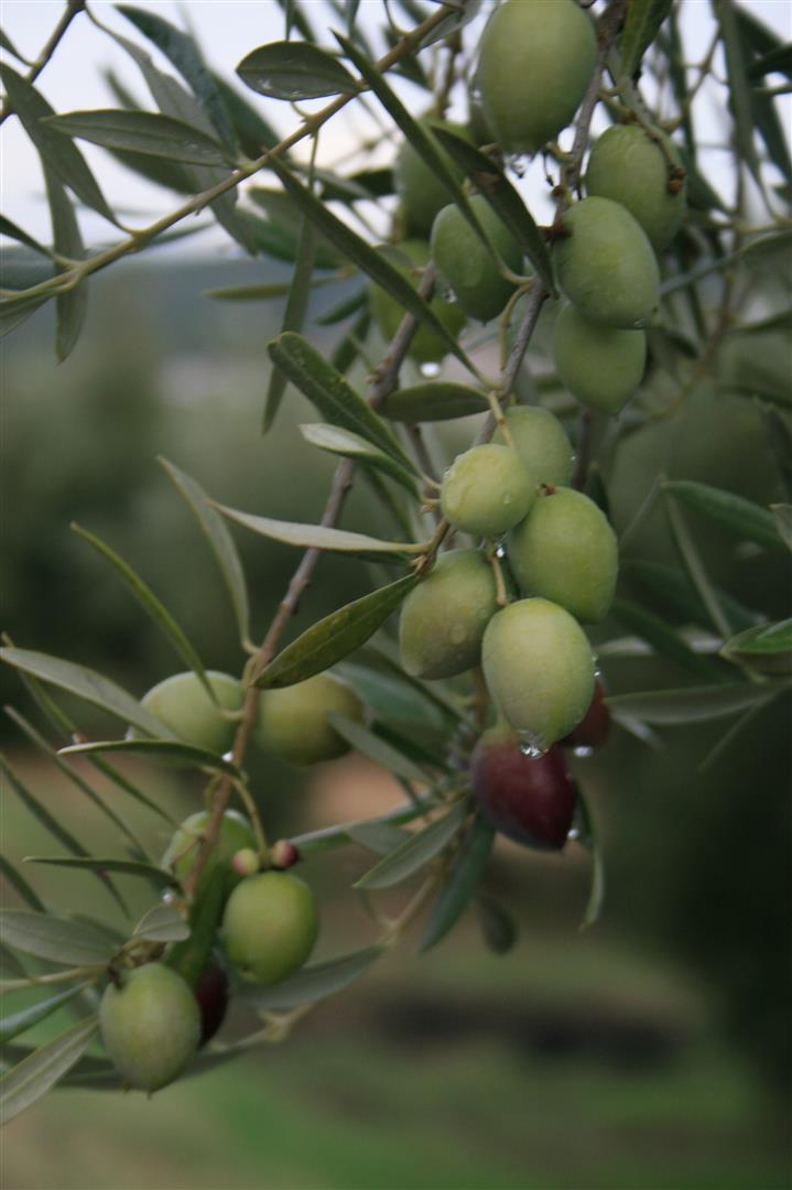 """Asaja-Jaén cree que la próxima cosecha de aceite de oliva será """"buena"""" y condiciona la producción al rendimiento graso"""