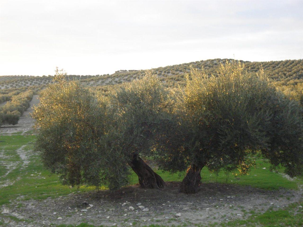 La UNIA proyecta en Baeza una selección de cortometrajes sobre el olivar y el aceite de oliva filmados en el siglo XX