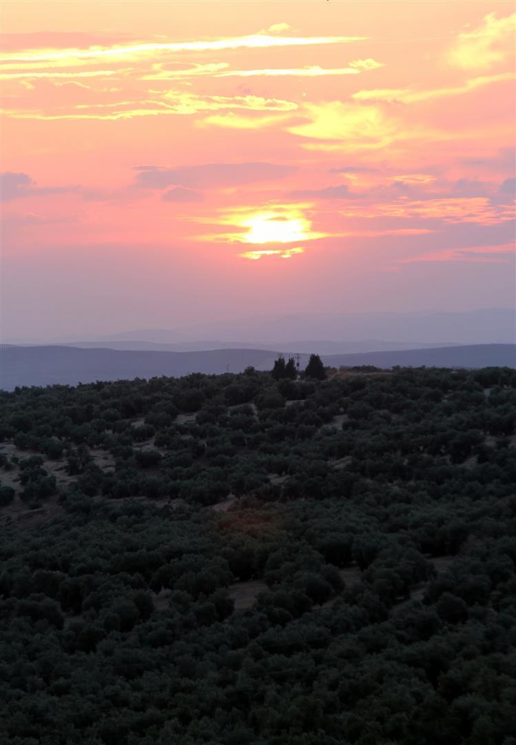 El PSOE anuncia iniciativas parlamentarias en las cámaras para defender los intereses del sector del olivar