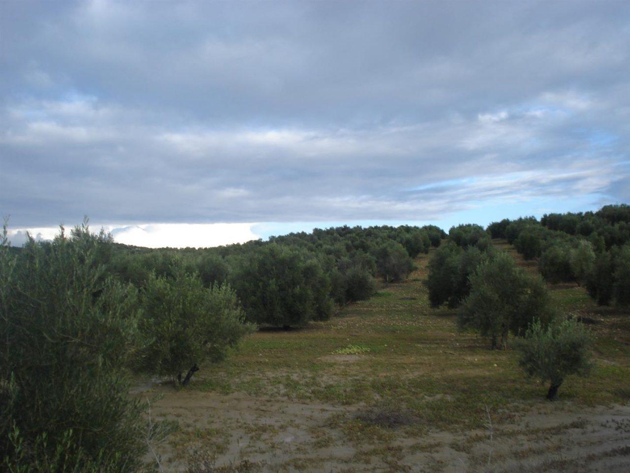Reyes acusa al PP de haber actuado con «premeditación y alevosía» en la pérdida de las ayudas de la PAC para Andalucía y el olivar de Jaén