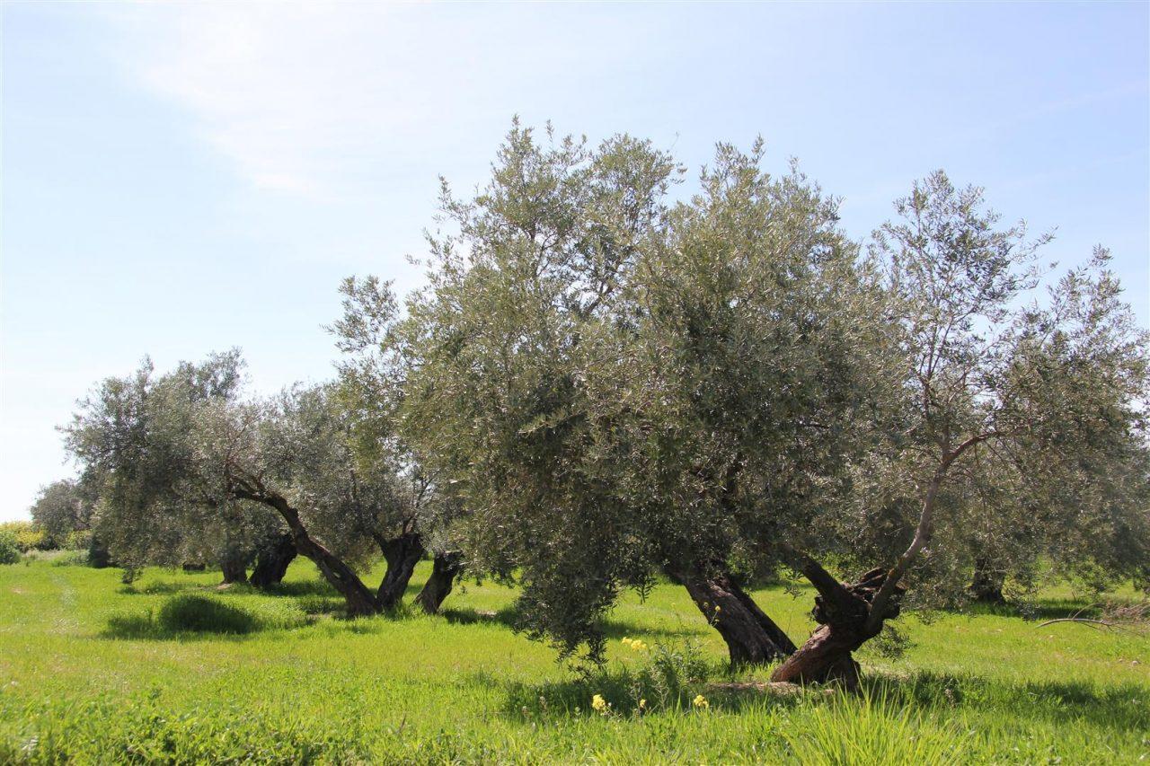 COAG-Jaén pide a Hacienda que rebaje el módulo fiscal del olivar ante circunstancias excepcionales