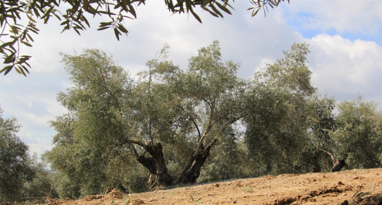 El próximo domingo comienza la rebusca de la aceituna en la provincia de Jaén